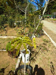 Uma das mudas de pau-brasil do Horto Municipal que será plantada no Dia da Terra